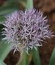 Allium austroiranicum