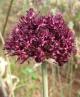 Allium cardiostemon