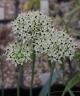 Allium colchicifolium