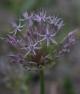 Allium kazerounii