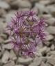 Allium kopsedorum