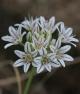 Allium lacunosum lacunosum