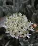 Allium nemrutdaghense