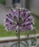 Allium sarawschanicum dwarf