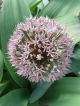 Allium stipineva x