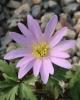 Anemone blanda JJVV-032 - species nova ?