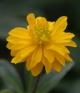 Anemone ranunculoides Hagaste