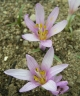 Colchicum munzurense