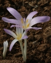 Colchicum parnassicum