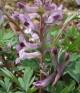 Corydalis    paczoskii