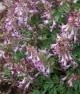 Corydalis  solida HOCUS-POCUS
