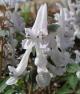 Corydalis  solida LOTH LORIEN