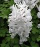 Corydalis  solida SNOW IN SPRING