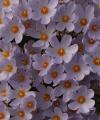 Crocus  pulchellus Chios