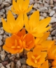 Crocus antalyensioides Yellow form
