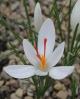 Crocus  cartwrightianus Albus