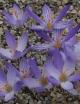 Crocus  puringii