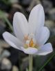 Crocus  tournefortii